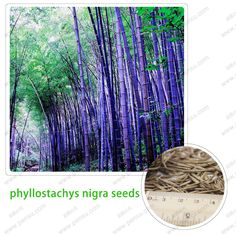 rare purple bamboo seeds  beautiful bonsai bamboo seeds  which is really the seed 100 PCS / bag