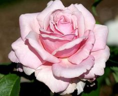 """""""Memorial Day"""" Lovely orchid pink hybrid tea rose with enormous old-fashioned full 5-6"""" flowers (petals 50+) saturated with super-strong classic old rose fragrance."""