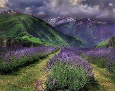 ╭⊰✿.¸¸Ꭿℓℓ Ꮭąⱴҽɳɖҽɽ.¸¸.✿⊱╮ ~ Lavender valley