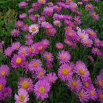 ASTER alpinus - Alpeasters, farve: magenta, lysforhold: sol,  højde: 30 cm, blomstring: maj - juni, velegnet til snit.