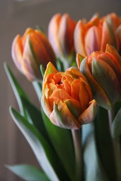 tulip Beautiful