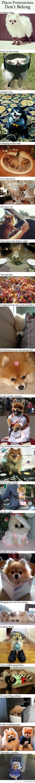Funny Dogs: Places Pomeranians don't belong. I love it