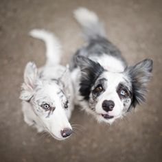 slate and blue merle border collies <3