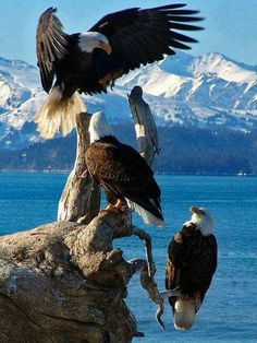 American Bald Eagles in Alaska.