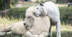 Ivory & Saraswati, possibly the first white lion and tiger to have cubs.