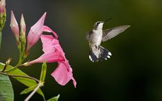 humming birds wallpapers and backgrounds | ... with: Hummingbird Hummingbird HD Wallpaper Hummingbird Wallpaper