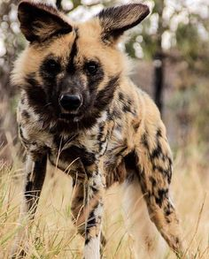 African Hunting Dog, African Wild Dog, Hunting Dogs, Cute Baby Animals, Animals And Pets, Animals Planet, Exotic Pets, Exotic Animals, Wild Lion