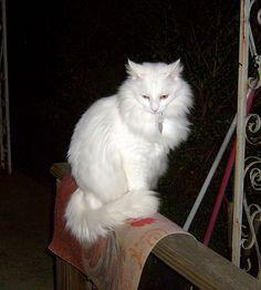 My Turkish Angora Cat - MK