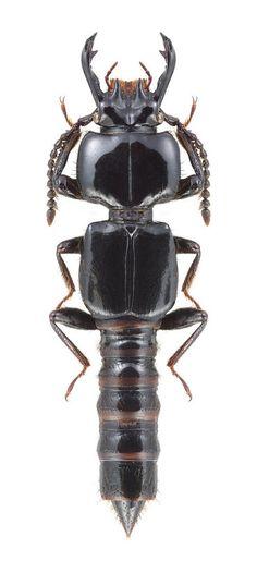 Borolinus dietmarleutzi (