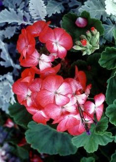 Pinterest the world s catalog of ideas - How to care for ivy geranium ...
