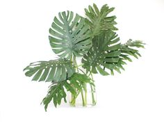 *GREENS: MONSTERA LEAF* www.theflowerexchange.com  Monstera is a very unique green that will work in special types of Tropical and other flower arrangements. Monstera is a dominant broad green leaf that really stands out in a crowd.  It is a long lasting green that will last 5 -8 days in water and it is available year round; it is aproximately12-18 inched in length and 11 inches across.