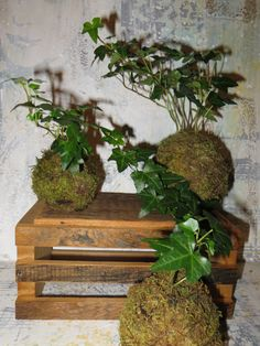 Kokedama Forest - Moss Ball Trio of Ivy - String Garden