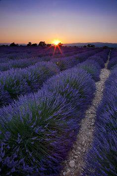 Sunset Over Lavender, Valensole, Provence, France