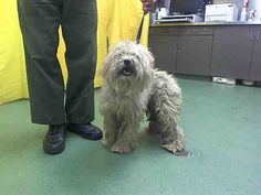 This DOG-ID#A601007  I am a male, cream Poodle - Miniature mix.  The shelter staff think I am about 4 years old.  I have been at the shelter since Jul 24, 2014.  This information was refreshed 19 minutes ago and may not represent all of the animals at the San Bernardino County - Devore Shelter.