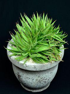 笹の雪綴化 Agave victoriae-reginae f. crist