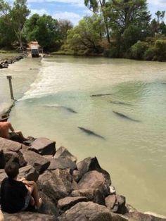 (Video) ¡De película! Cocodrilos acechan a conductores en río australiano