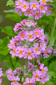 This hybrid perennial thrives in damp, shady environments where it brings in late spring or early summer, brightly colored, tiered whorls of flowers (3 to 6 per stem) spaced at intervals on leafless stems that rise atop basal rosettes of ovate to lanceolate, medium green leaves