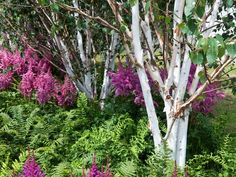 The peeling white bark of these Himalayan birches provide a beautiful contrast to the ferns and astilbes below.