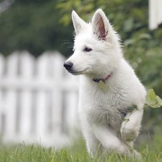 Pastor blanco suizo White Shepherd dog