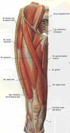 Anatomy of the thigh muscles Leg Anatomy, Anatomy Poses, Muscle Anatomy, Anatomy Study, Anatomy Reference, Human Anatomy Drawing, Human Body Anatomy, Human Anatomy And Physiology, Anatomy Images