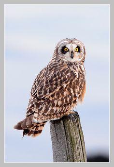Fotograaf: jebbenn  Velduil zeeland      Categorie:Vogels (mus, valk, etc)     Tags:velduil die ogen van jou      Nederlandse naam: Velduil