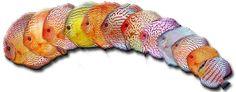 Diskusfische-Schmidt
