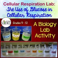 Is glucose required for cell respiration? Is there a correlation or relationship between the amount of sugar available and the amount of carbon dioxide produced? Can any type of sugar be used as a fuel for cellular respiration? High School Biology, High School Science, Science Student, Science Education, Life Science, Science Fair, Forensic Science, Higher Education, Biology Classroom