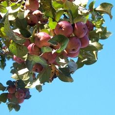 Apple trees and other fruit trees grow well in USDA Zone 9.