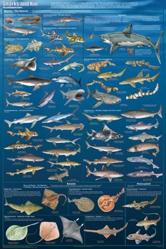 Amazon.com: Sharks And Kin Poster 24 x 36in: Home & Kitchen