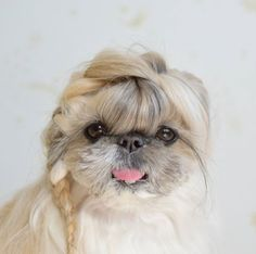 Kuma the Shih Tzu Has the Most Beautiful Hair We've Ever Seen on a Dog - Cheezburger