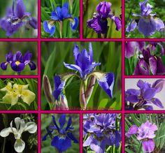 flor iris - Pesquisa Google