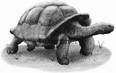 Galapagos Tortoise (Geochelone elephantopus) Line Art and Full Color Illustrations Tortoise Drawing, Tortoise Tattoo, Illustration Techniques, Illustration Art, Illustrations, Giant Tortoise, Tortoises, Sculpture Clay, Endangered Species