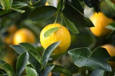 Is your meyer lemon tree sick? Learn more about Meyer lemon tree diseases. Discover some of the most common meyer lemon tree diseases here. Planting Fruit Trees, Fruit Plants, Fall Planting, Edible Plants, Negative Calorie Foods, Xls Medical, Meyer Lemon Tree, How To Grow Lemon, Agriculture