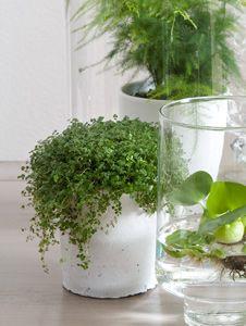 #Soleirolia (#slaapkamergeluk) is een perfecte plant voor de slaapkamer. Het groeit graag in de schaduw, heeft aan een beetje water voldoende en is ook nog eens luchtzuiverend.
