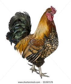 French Rooster - Pesquisa Google