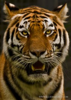 Tiger by *ERB20 on deviantART