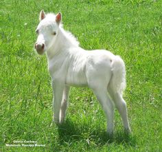 """The Little Prince… Born the same day and time as the new baby prince in England…this solid white colt…is only 14 inches tall and fearless…when """"The Little Prince"""" (our miniature horse) is older...he will join the other Gentle Carousel Miniature Therapy Horses…working inside children's hospitals and schools…this horse loves being the center of attention. Photo by Gentle Carousel Miniature Therapy Horses…"""