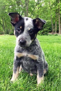 Meet Albury, an adopted Australian Cattle Dog / Blue Heeler Mix Dog, from All Herding Breed Dog Rescue in Wauconda, IL on Petfinder. Austrailian Cattle Dog, Blue Heelers, Cattle Dogs, Cute Animal Pictures, Beautiful Dogs, Cattle Ranch, Dog Life, I Love Dogs, Dog Breeds