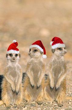 Suricate / Meerkat - x3 young on lookout, wearing christmas hats (Suricata suricatta)