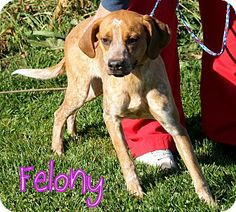 #WVIRGINIA ~ Felony is a fun loving Red Tick Coonhound mix #puppy who's in need of a loving #adopter / #rescue at the GREENBRIER HUMANE SOCIETY 151 Holliday Lane #Lewisburg WV 24901 greenbrierhumanesociety@gmail.com Ph 304-645-4775