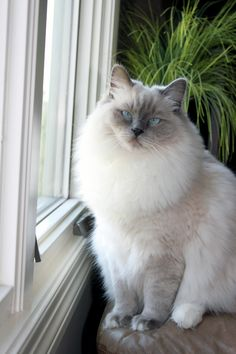 My pretty Gracie (blue point mitted Ragdoll cat) 1 year old.