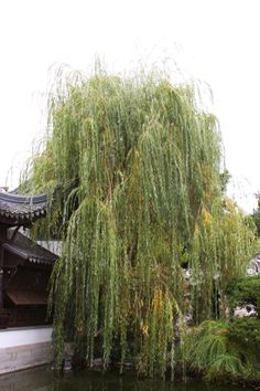 Willow tree. Chinese Gardens, Portland, OR.  11/2012.