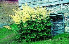 Skogskjegg, Aruncus dioicus. Blomsterfarge Hvit Blomstringstid Juni, Juli Høyde (m) 1 - 1,5 Plantetype Stauder I 2007 ble arten skogskjegg satt på den såkalte svartelisten. Dette betyr at vi her har en plante som sprer seg i naturen og dermed kan trenge bort planter som vi gjerne vil ha i norsk natur