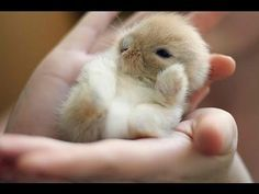 Lilly's Litter ~ 2 Weeks Old ~ Baby Holland Lop Bunnies - YouTube