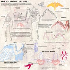 """nightzsiner:  Winged People Skeletal Anatomy by Blue-Hearts I found this really cool reference for drawing winged people and the anatomy that goes with it. I hope it'll help some of my artist friends with drawing winged characters   """