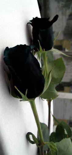 New flowers black rose beauty 33 Ideas Amazing Flowers, Beautiful Roses, White Roses, Red Roses, Black Rose Flower, Dark Flowers, Black Garden, Dark Beauty, Flower Bouquet Wedding