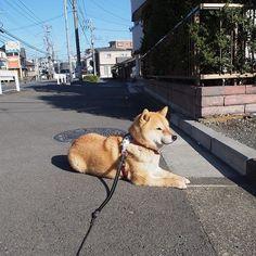 Pinを追加しました!/今日は暖かくなったね。少し歩くと暑くなるからここで休んでいこうよ #shiba #dog #komugi #shibe #doge #柴犬