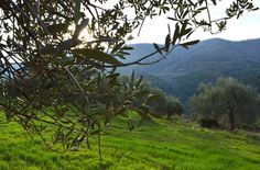 Did u know that the edible olive has been cultivated for at least 5,000 to 6,000 years, with the most ancient evidence of olive cultivation having been found in Syria, Palestine, and Crete (Greece)? The olive tree is native to the Mediterranean region and Western Asia, and spread to nearby countries from there.
