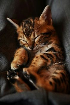 Bengal kitten! I want one meow! :)