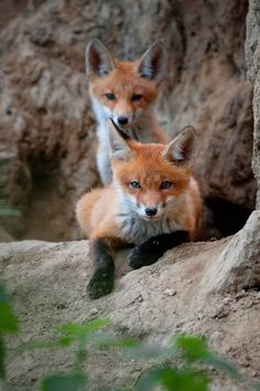 Red Fox Cubs by Alex Drangovsky on 35Photo